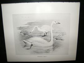 Frohawk 1898 Antique Bird Print. Whooper Swan